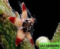 Rhytidocaulon arachnoideum - ритидокаулон арахноидеум