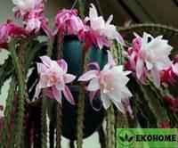 Aporophyllum karen - апорофиллум карен