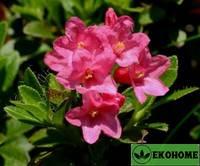 Рододендрон хирсутум жестковолосистый - rhododendron hirsutum