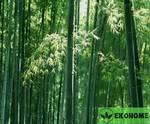 Phyllostachys edulis moso giant - гигантский морозостойкий бамбук
