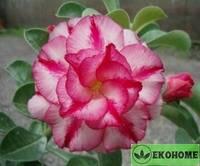 Adenium obesum triple flower moons (адениум обесум махровый спутник)