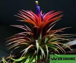 Tillandsia ionantha - тилландсия ионанта фиалкоцветковая