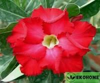 Adenium obesum double flower адениум махровый ярко красный