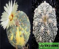 Astrophytum hybrid sk x ooibo variegated (астрофитум астериас суперкабуто и астрофитум астериас ооибо вариегатный)