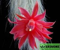 Hildewintera colademononis - хилдевинтера коладемононис ( обезьяний хвост ) редко встречающееся в природе растение