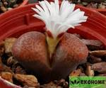 Ophthalmophyllum triebneri spec. Brown body - офтальмофиллум требнера вид коричневое тело