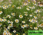 Ромашка аптечная - chamomilla officinalis