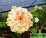Adenium obesum hybrid ko_57