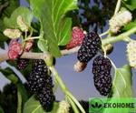 Morus nigra - шелковица черная - тутовое дерево