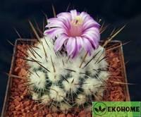 Echinofossulocactus rosasianus queretaro