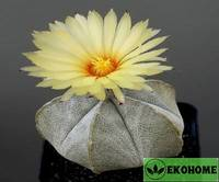 Astrophytum coahuilense - астрофитум коауиленсе (коауильский)