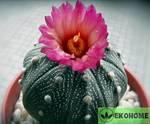 Astrophytum asterias red flower (астрофитум астериас красноцветковый)