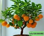 Карликовый апельсин patio