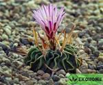 Echinofossulocactus pentacanthus v.grandis - эхинофоссулокактус пятиколючковый вариегация - грандис