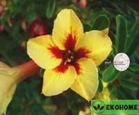Adenium obesum hybrid ko_23