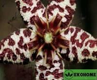 Orbea albocastanea - орбея белокаштанная