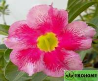 Adenium obesum desert rose breezy day