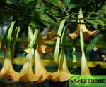 Datura stramonium hybrid yellow flowers - обыкновенный дурман желтоцветковый гибрид