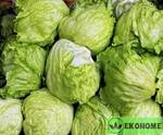 Салат король арктики патио - lettuce arctic king patio