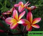 Plumeria rubra - плюмерия красная