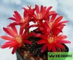Aylostera heliosa v.condorensis l401 condor pass - айлостера кондоренсис кондор пасс красные цветки