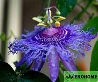 Passiflora incense - пассифлора инценс (маракуйя)