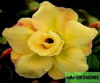 Adenium obesum double flower yellow king parfum (адениум тучный махровые цветки желтый королевский аромат)