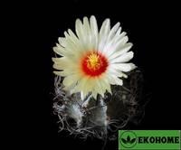 Astrophytum capricorne (астрофитум козерогий)