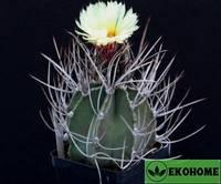 Astrophytum capricorne v.niveum f.nudum - астрофитум козерогий вар.снежный ф.обнаженный