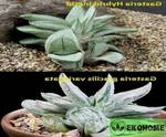 Gasteria hybrid ingrid x gasteria gracilis variegata