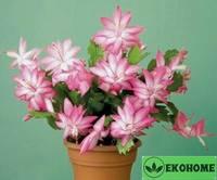 Zygocactus - weihnachtskaktus truncatus - зигокактус трункатус