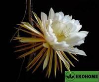 "Selenicereus grandiflorus - селеницереус крупноцветковый - луноцветник ""царица ночи"""