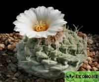 Strombocactus disciformis - стромбокактус дисковидный