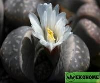 Lithops olivacea var. Olivacea c109