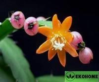 Acanthorhipsalis monacantha - аканторипсалис одноколючковый