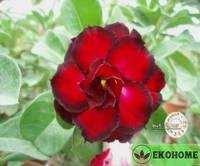 Adenium obesum hybrid ko_9
