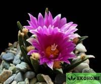 Ariocarpus agavoides - ариокарпус агавовидный