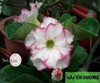 Adenium obesum hybrid ko_8