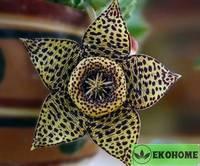 Orbea variegata - орбея пестрая