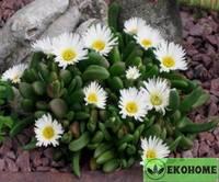 Delosperma bosseranum - делосперма боссера - ледяная трава