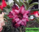Adenium obesum hybrid ko_54