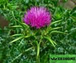 Раторопша пятнистая - silybum marianum