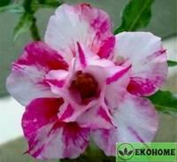 Adenium obesum double flower candy berry