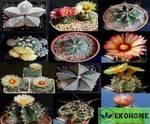 Astrophytum mix - смесь семян наиболее красивых видов астрофитумов