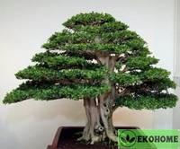 Муррайя экзотическая - murraya exotica