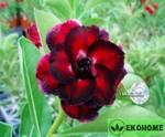 Adenium obesum hybrid ko_34