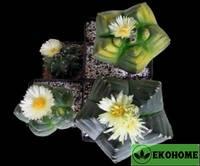 Astrophytum myriostigma kikko (астрофитум мириостигма кикко)