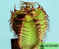 Молочай канарский - euphorbia canariensis