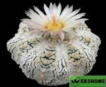 Astrophytum asterias super kabuto v x hana-zono (астрофитум астериас супер кабуто v тип и хана-зоно)