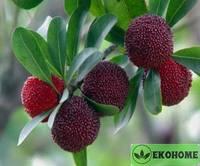 Morella rubra - myrica rubra - waxberry - восковница красная